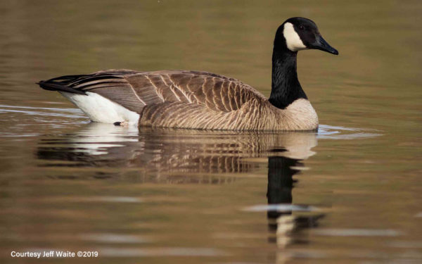 Canada Goose floating in the pond at Columbia Gardens.