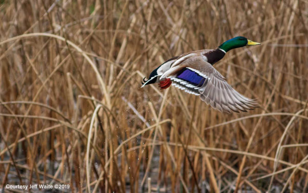 Mallard takes flight from the pond at Columbia Gardens.