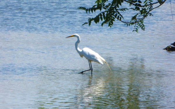 A Great Egret walking in the pond at Columbia Gardens.