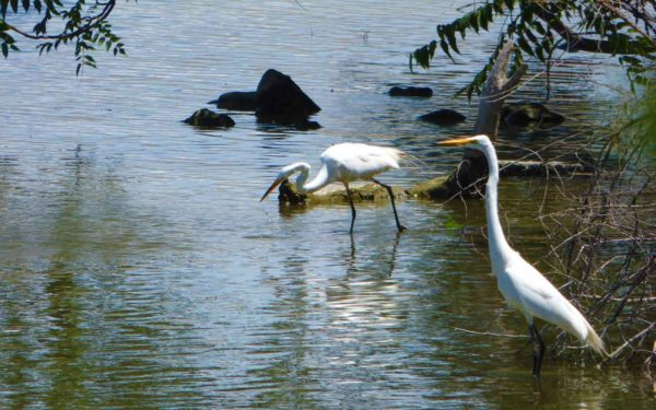 Great Egrets exploring in the pond at Columbia Gardens.