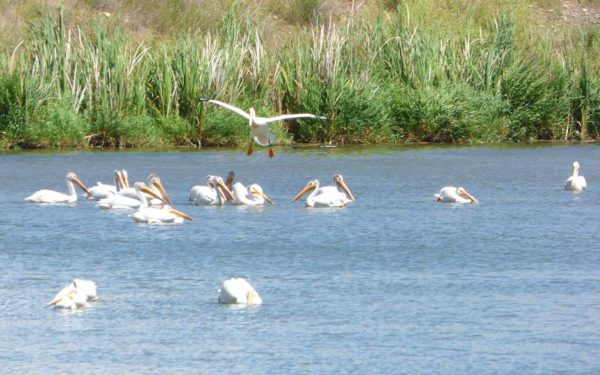 American White Pelican landing among flock in pond at Columbia Gardens.