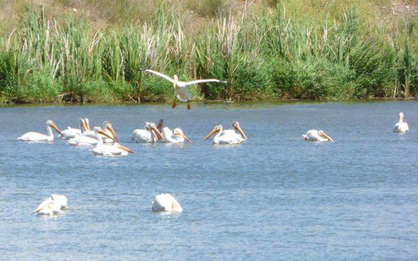 American White Pelican landing among flock in pond at Columbia Gardens.