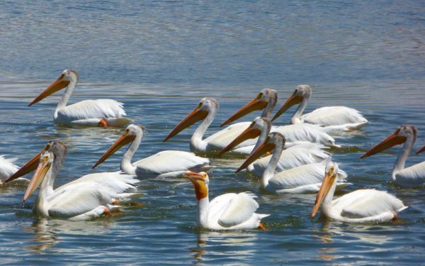 American White Pelicans in the pond at Columbia Gardens.