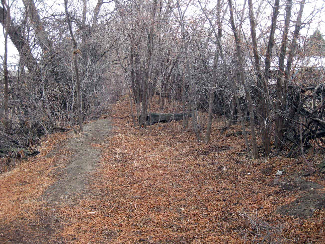 Overgrown treens and brush prior to clean up for pond trail construction.
