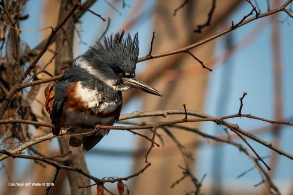 King Fisher in tree at Columbia Gardens