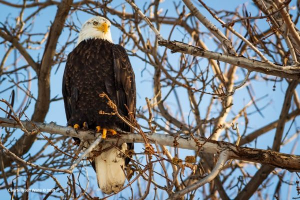 Bald Eagle in tree at Columbia Gardens