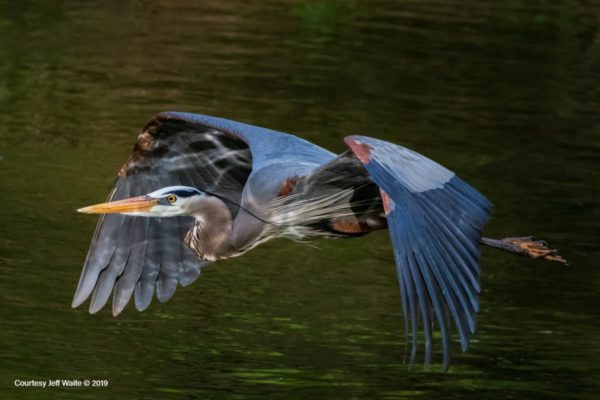 Great Blue Heron takes flight at Columbia Gardens pond